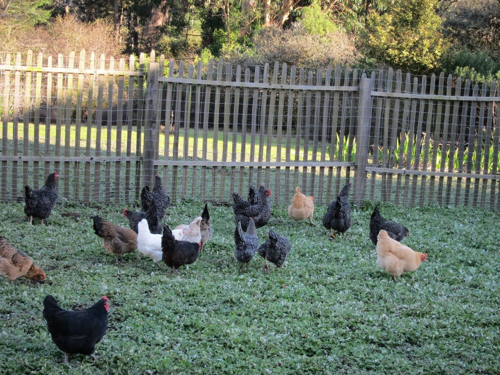 chickens in green.JPG