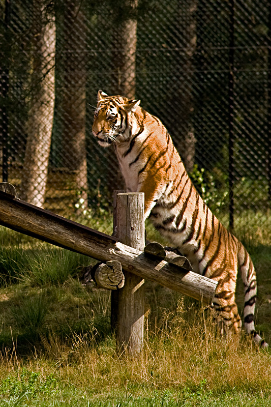 tiger-agile.jpg