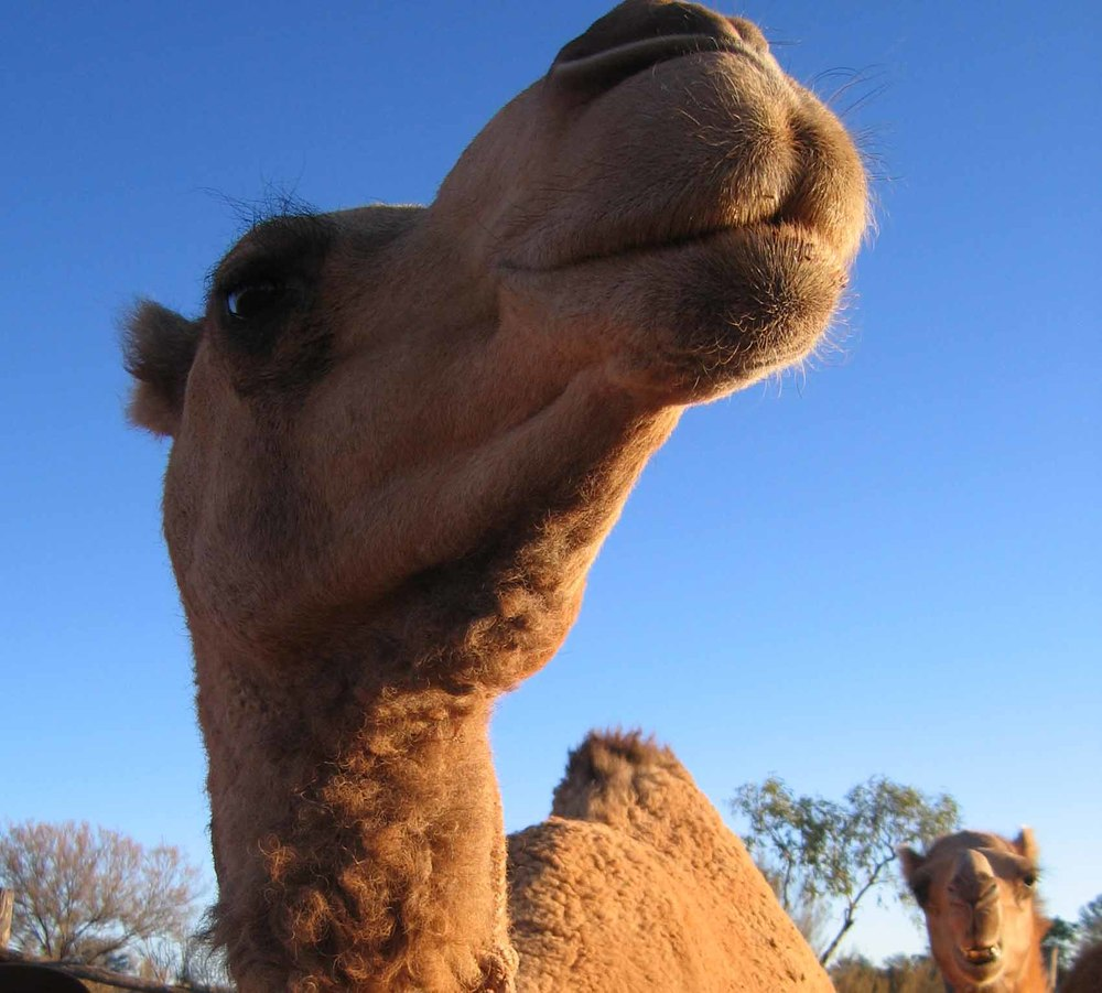 There are lots of camels.
