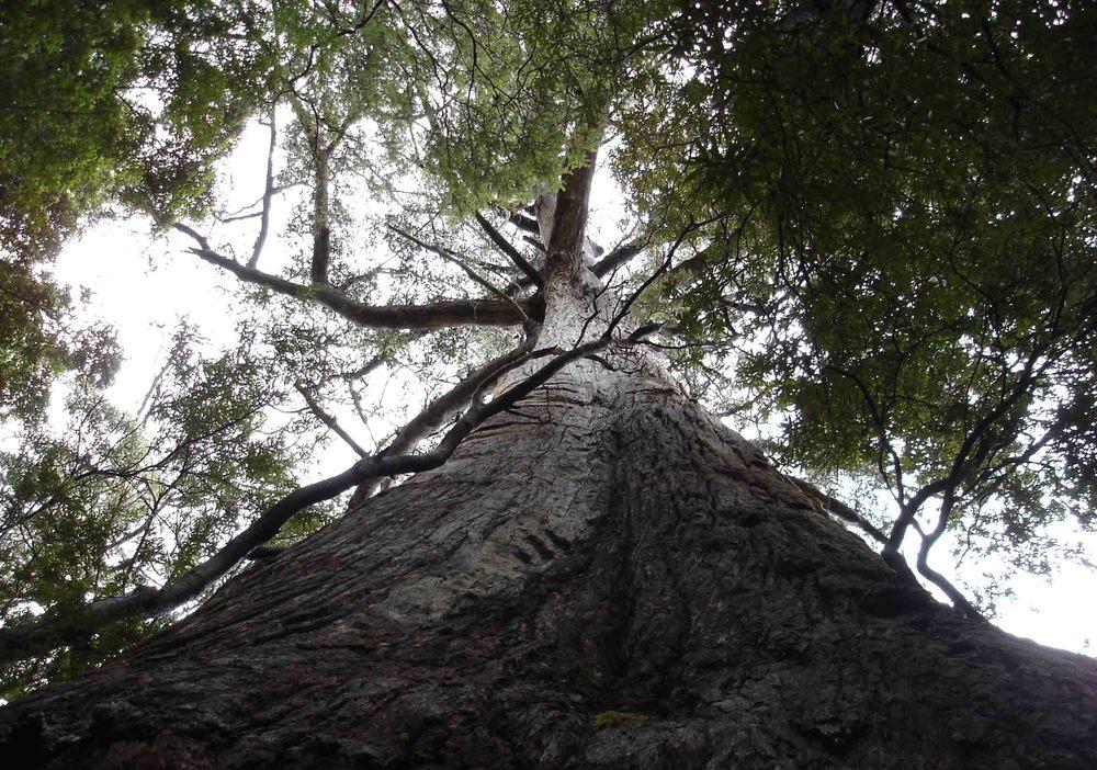 Towering Tassie forest