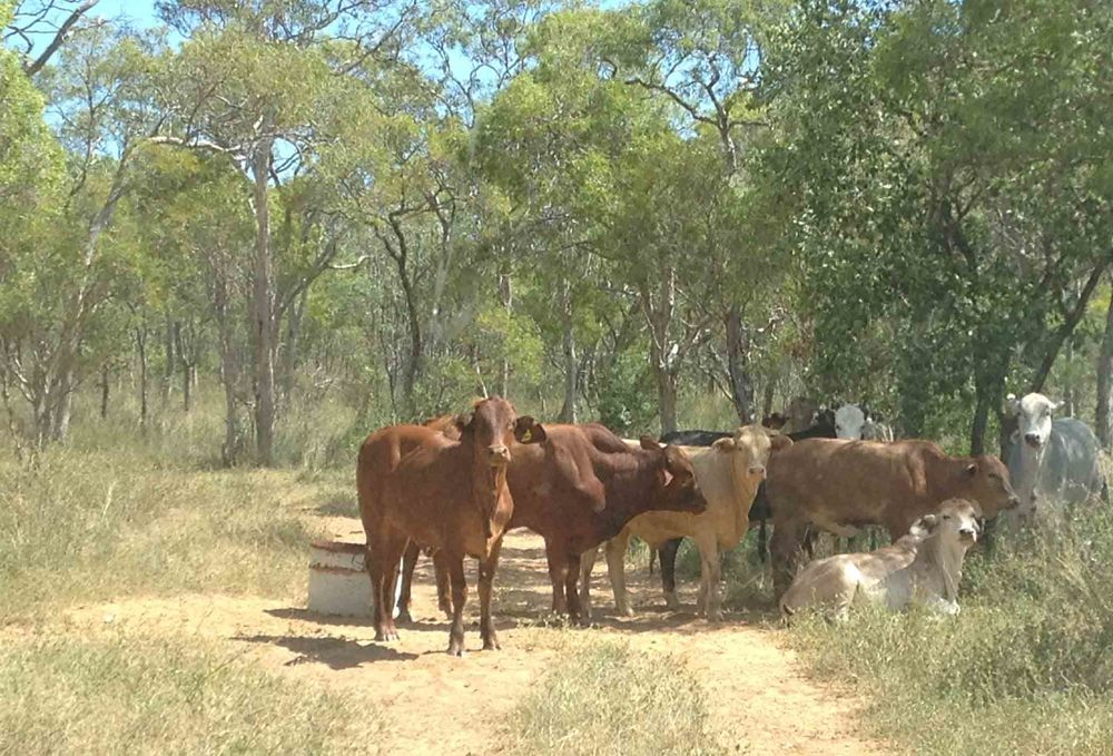 Rangelands cattle grazing is big in Australia