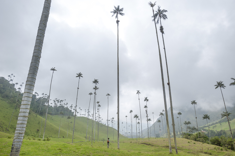 Wax palms  Cocora valley,Colombia
