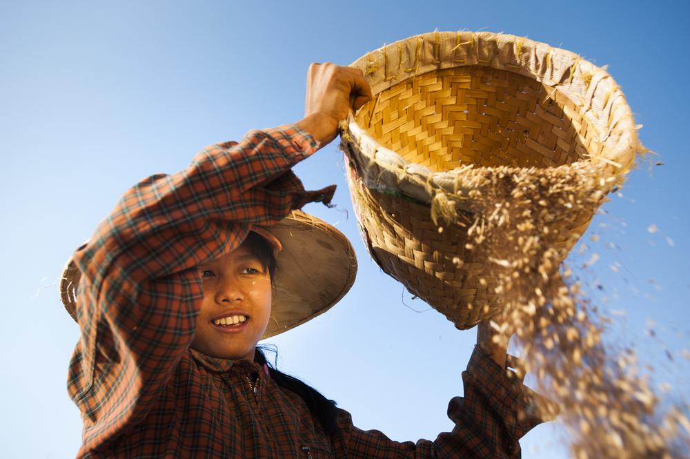 Winnowing wheat  Pindaya, Burma