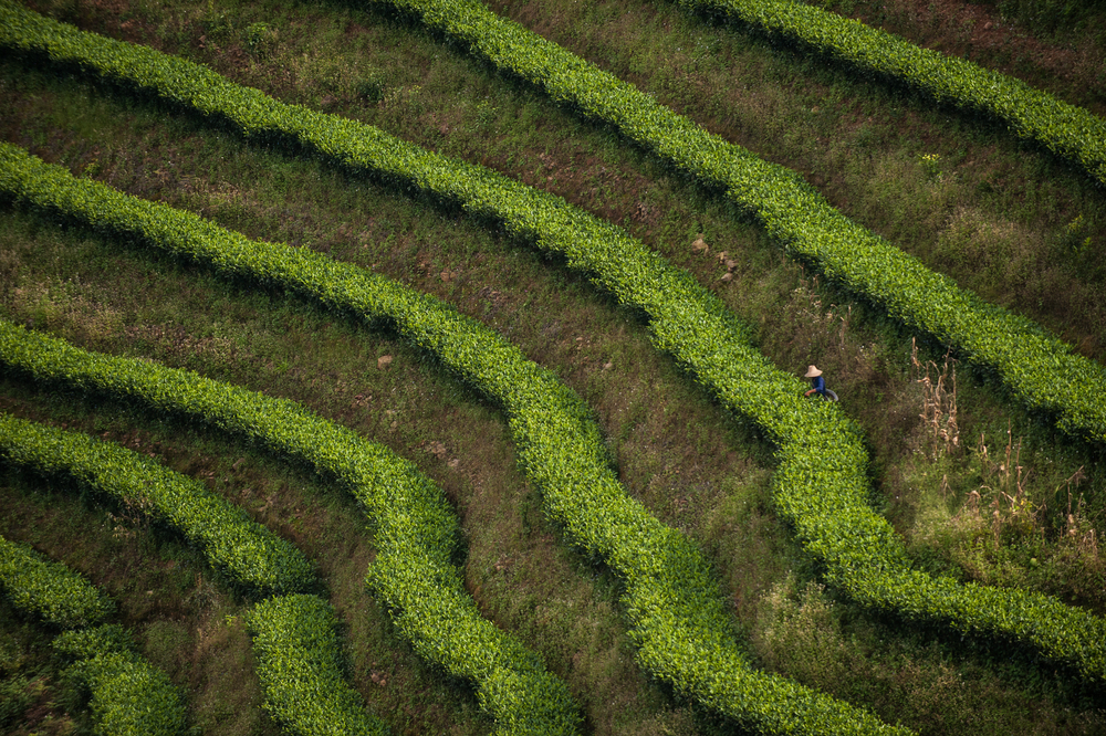 Puer tea bushes _DSC6923.jpg