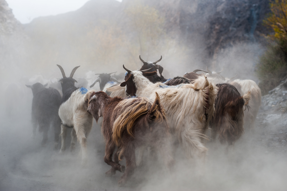 A heard of goats running along a dusty road in northern Pakistan _DSC2060.jpg