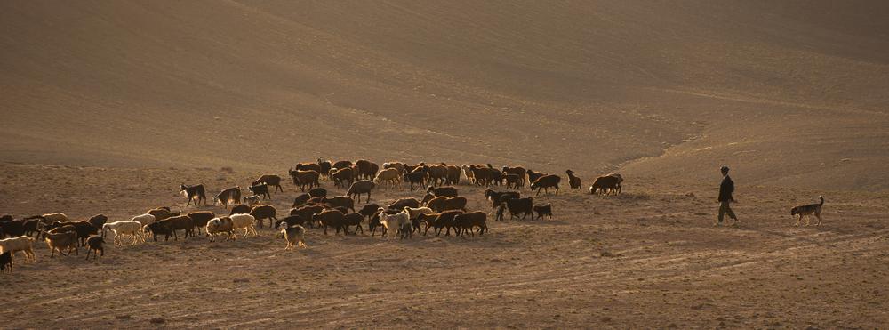 Afghan shepherd _DSC7898.jpg