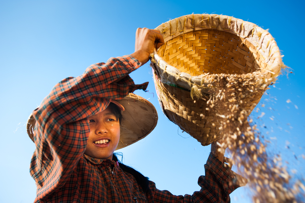 Burma A girl winnows wheat, which is to sort away the husks, by pouring it in the wind. Shan State in Burma, also known as Myanmar.