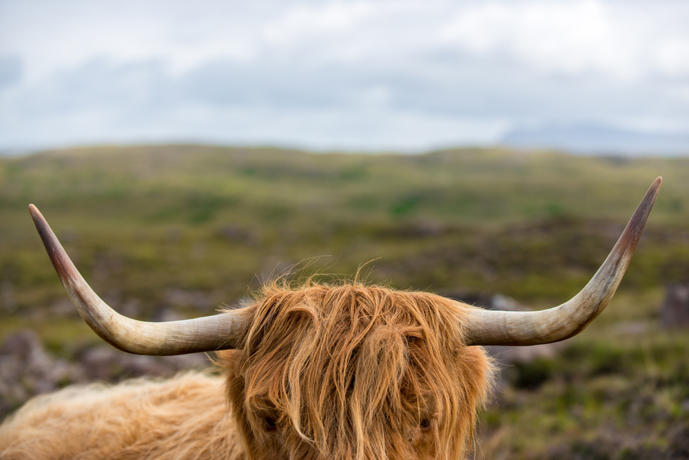 Scotland   A highland cow on the isolated Applecross peninsula in the Scottish highlands