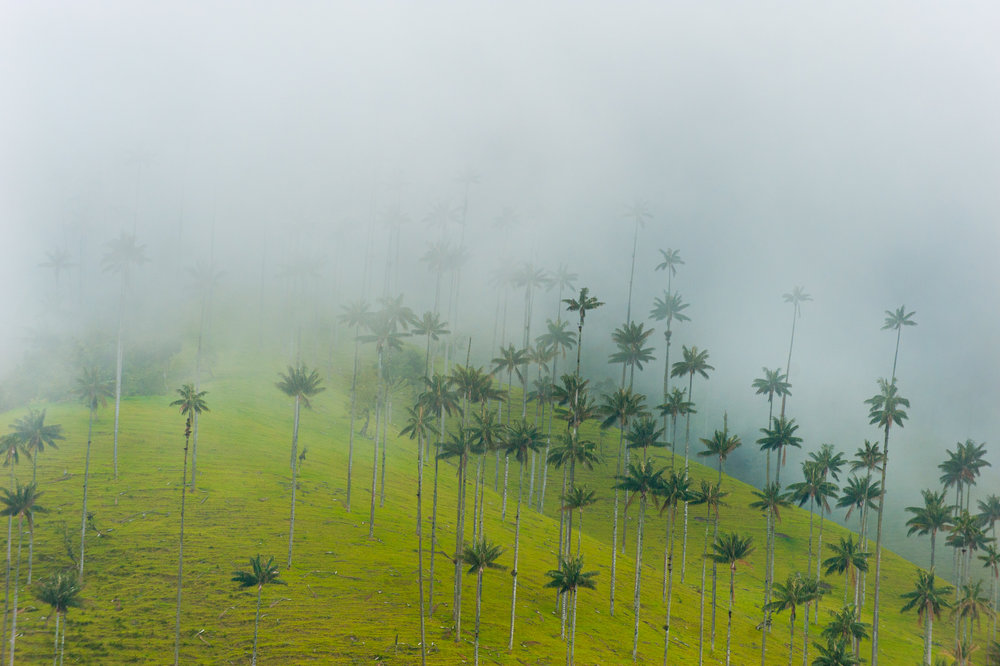 Wax Palms, Colombia