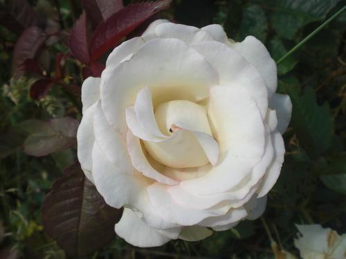 Rose-of-Gratitude.jpg