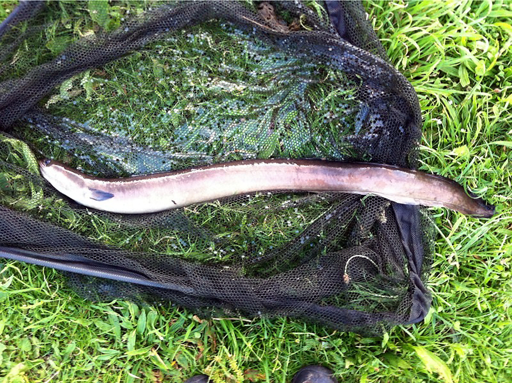 He always catches when I'm not around! Gary's 4lb eel