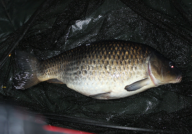 In the net, and on the mat. A well fed common