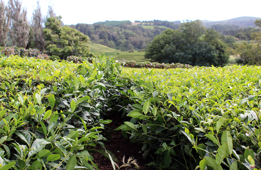 Tea anyone? The Azores has the only tea plantation in europe