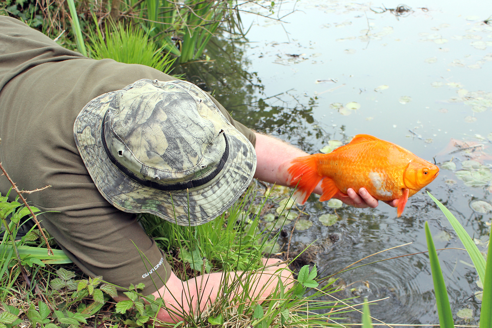 Rescuing a longtail goldfish