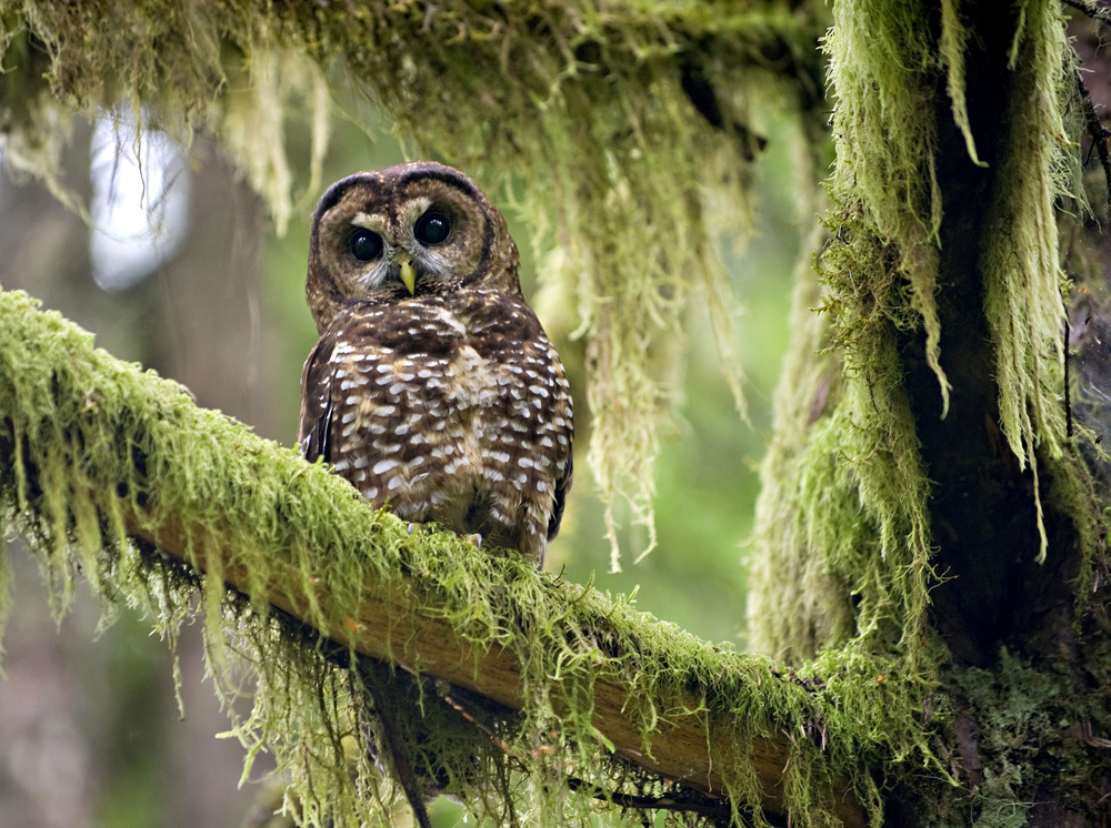 An  endangered wild northern spotted owl perches in a tree in an old growth  section of forest on Bureau of Land Management property near Roseburg,  Oregon.  Credit Image: © Robin Loznak/robinloznak.com