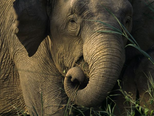 Juvenile Asian Elephant, courtesy of Tim Laman. Credit Image: ©TimLaman http://www.timlaman.com/