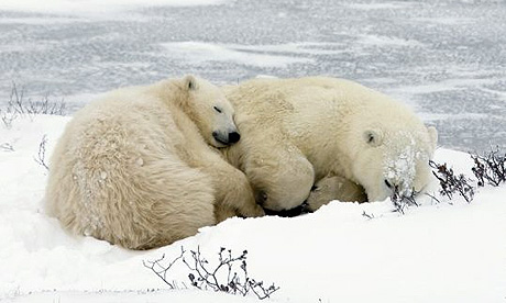 Sleeping mother Polar Bear and her cub, Jonathan Hayward.