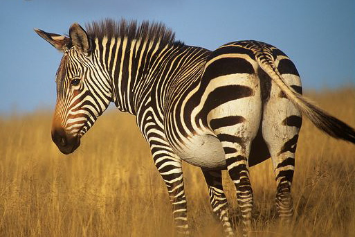 Cape Mountain Zebra, Western Cape, South Africa.  Stan Osolinski, Archive.org