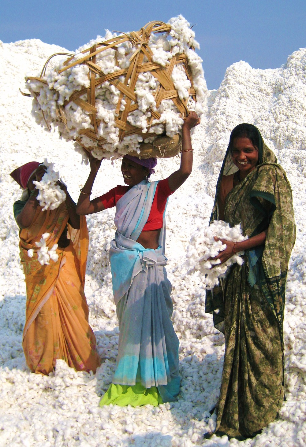 Organic cotton farming, Maharashtra, India.  Zameen Organic.