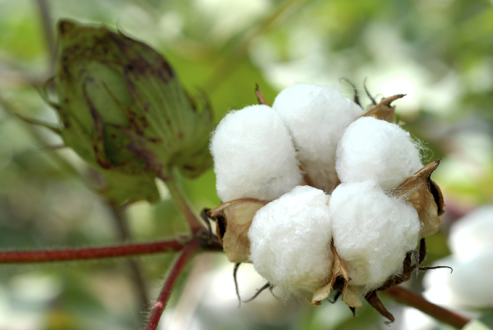 Cotton-Ball1.jpg