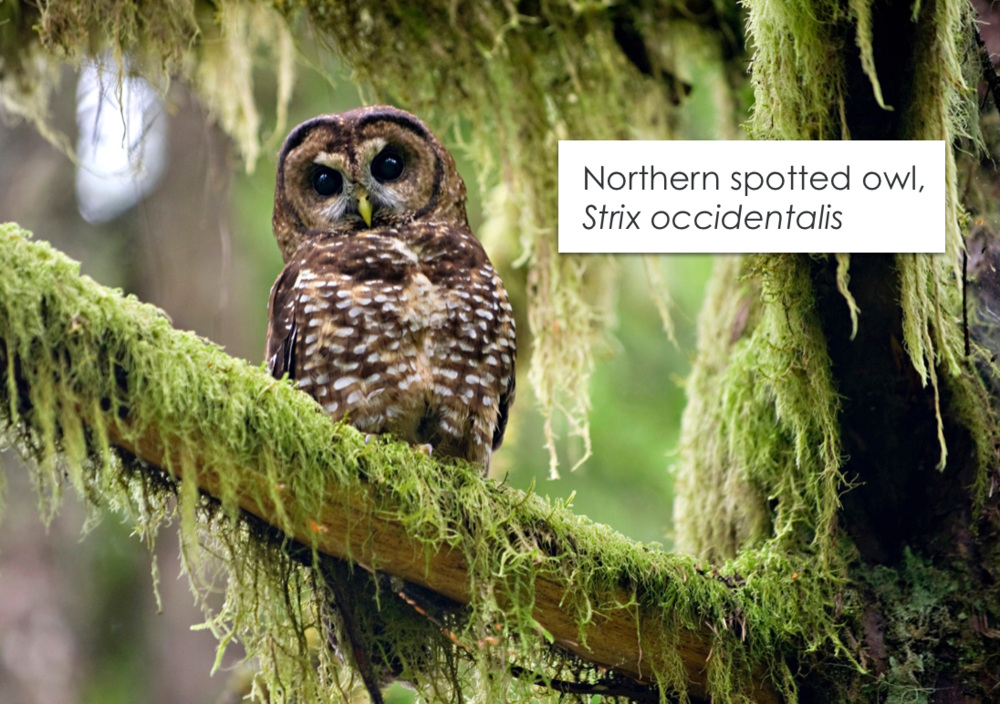 northern spotted owl.png