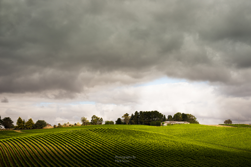 Scenic photograph of a vineyard and dramatic clouds.