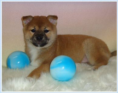 Shio the Shiba formerly known as Nemo
