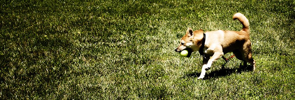 Shio playing fetch