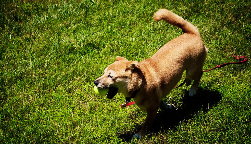 Shio running around with his ball