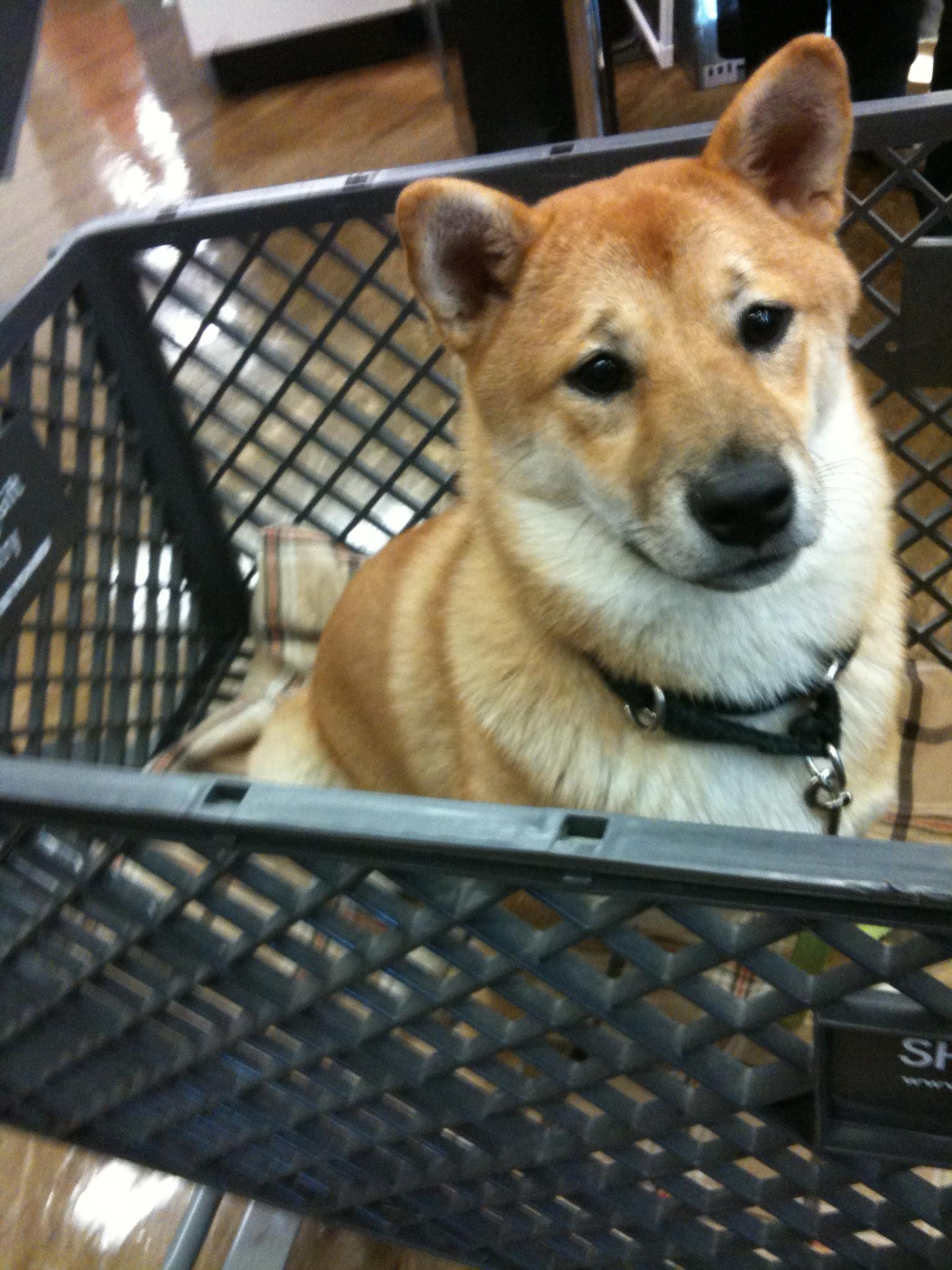 Shio in cart (closeup)