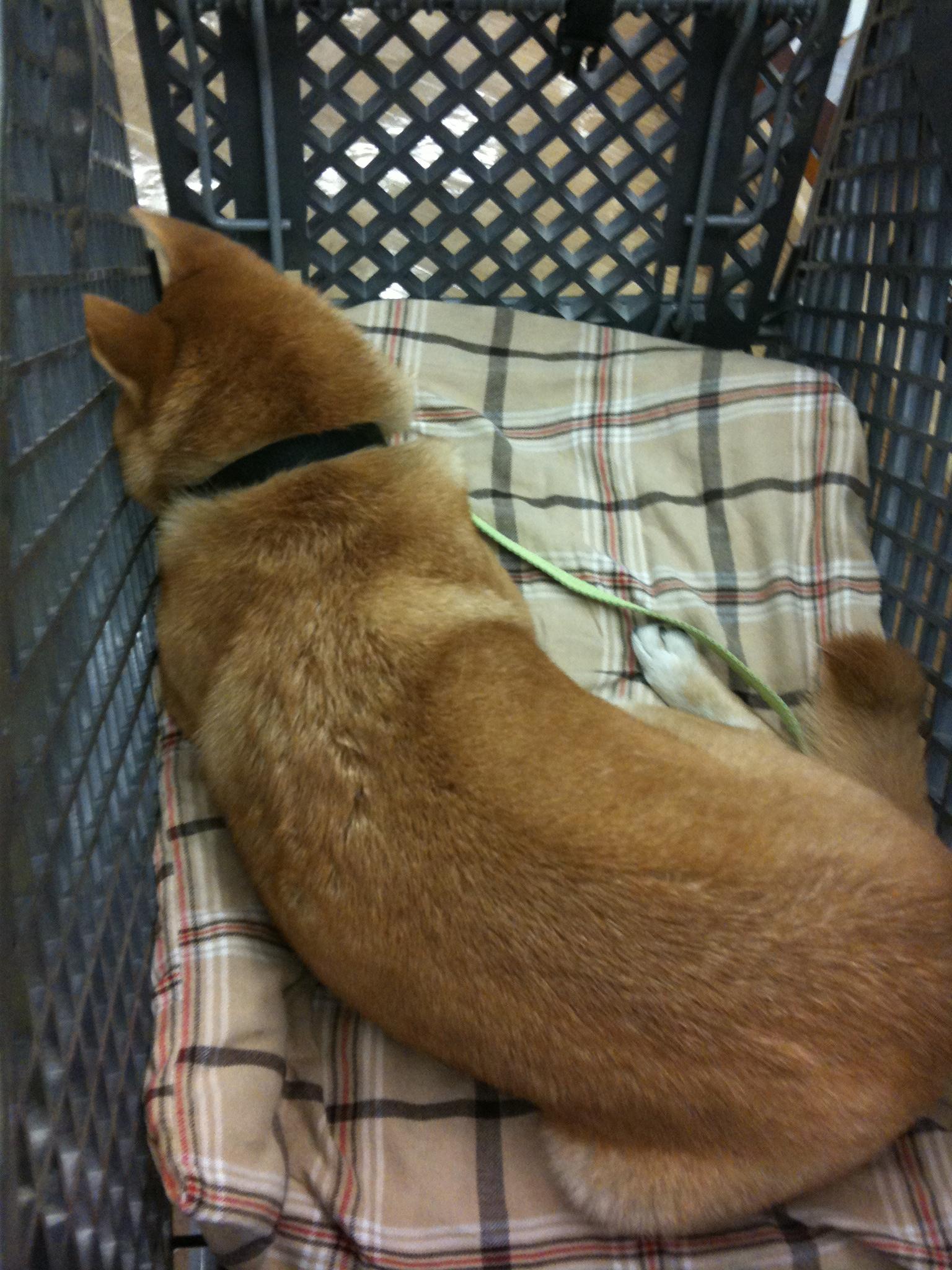 Shio Laying Down in Cart