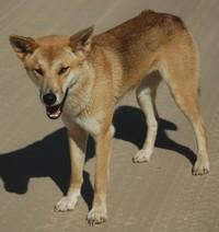 australian-dingo-200