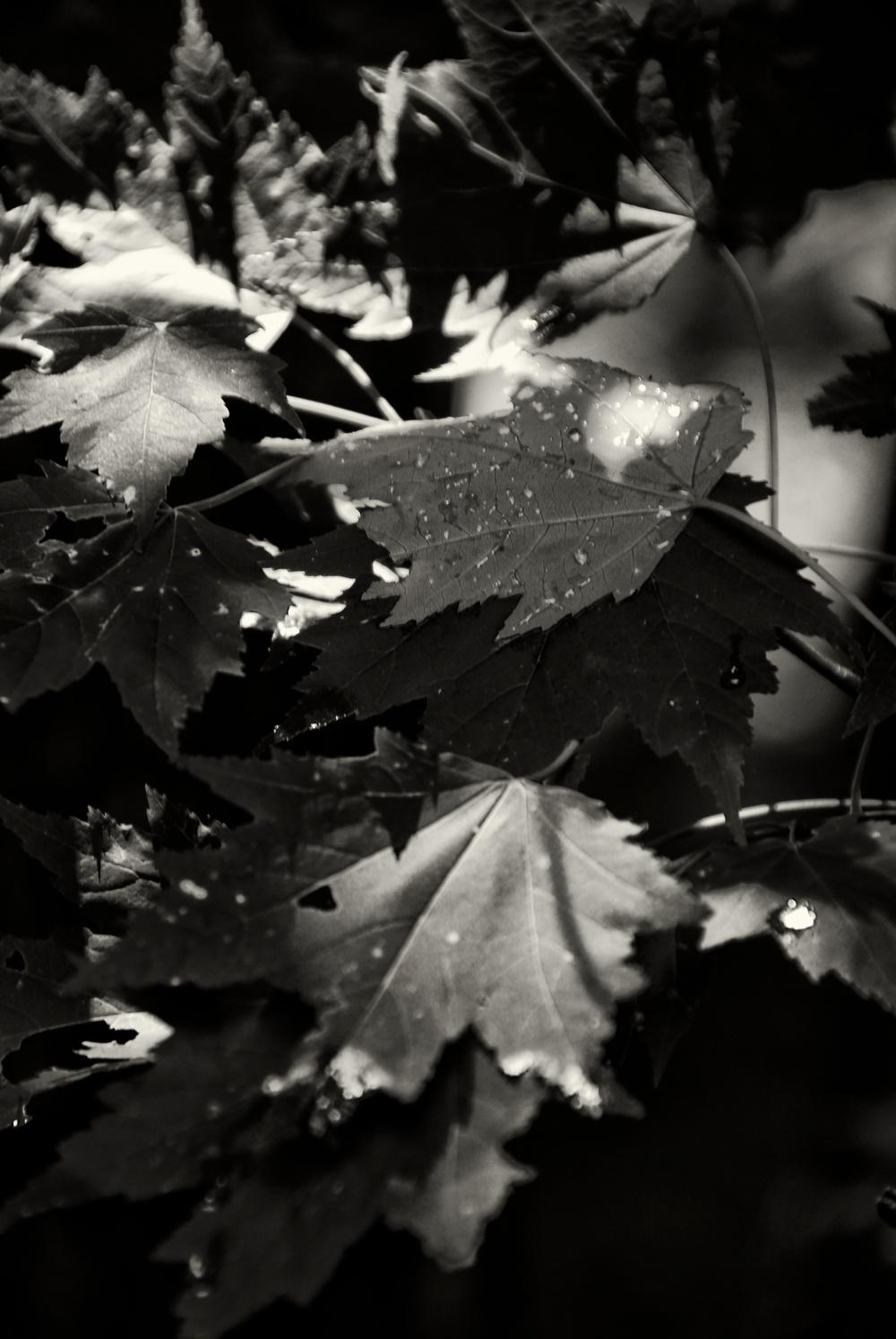 Leaves of Light.jpg