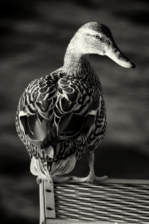 IR Duck