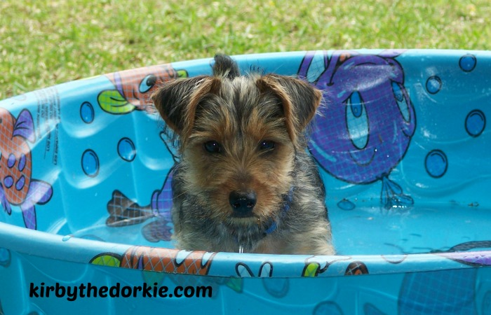 This pic of Kirby at 3 months was used in our first blog banner announcing kirbythedorkie.com to the world..