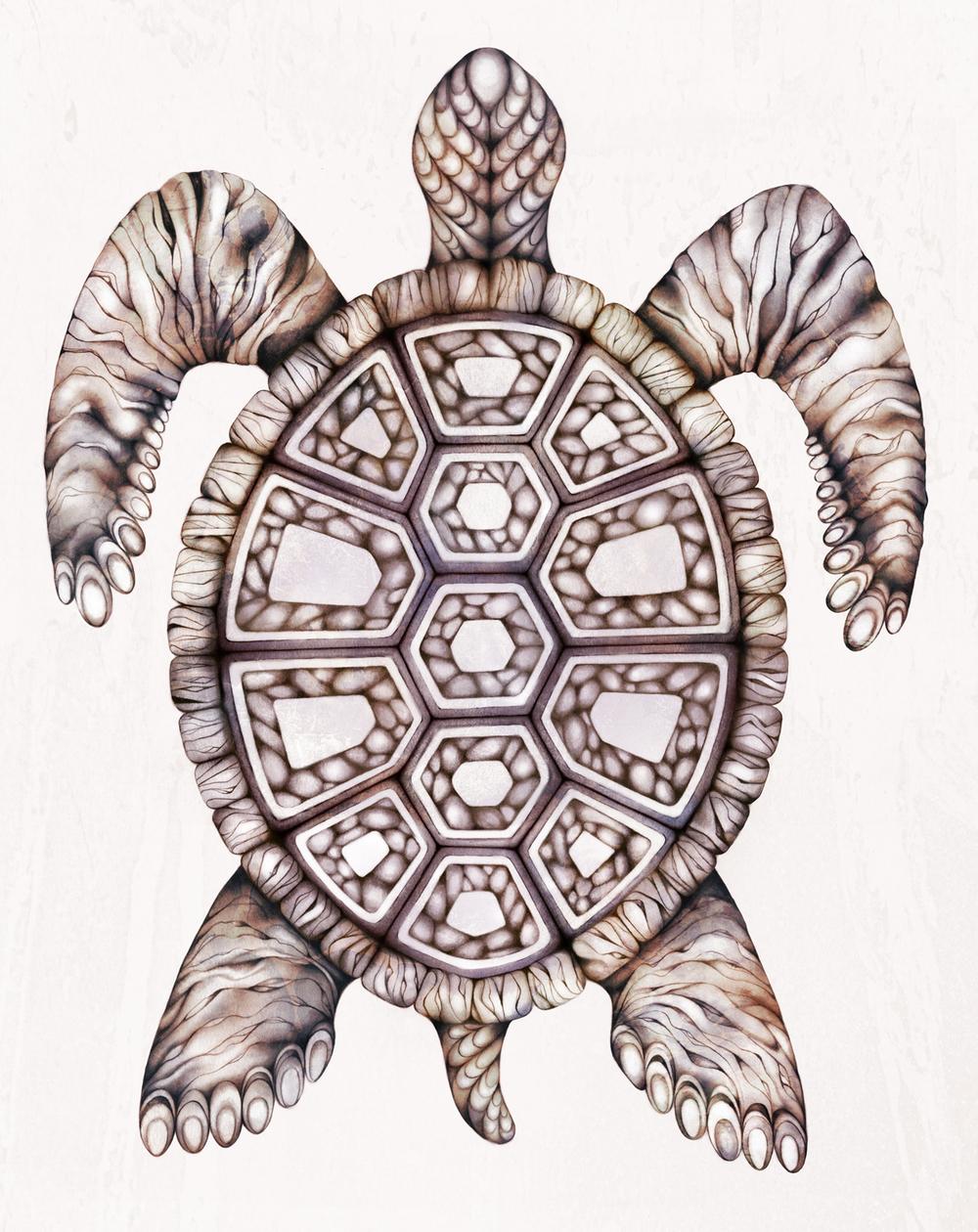 Turtle-drawing-illustration