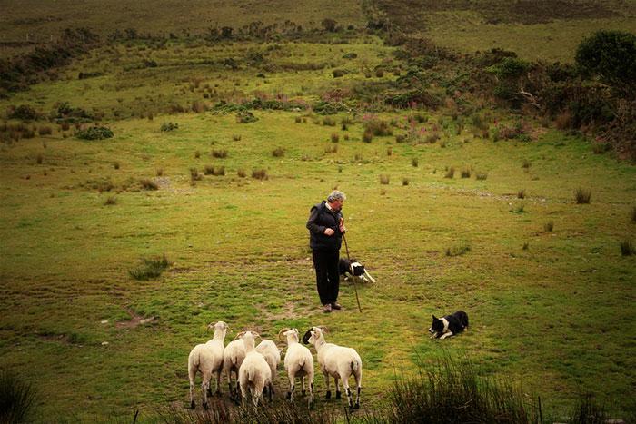 sheep photography Northern Colorado.jpg