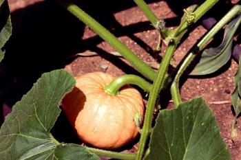 Pumpkin Vines  | Foodable WebTV Network