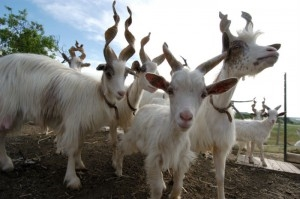 Girgentana Goats | Courtesy of Slow Food