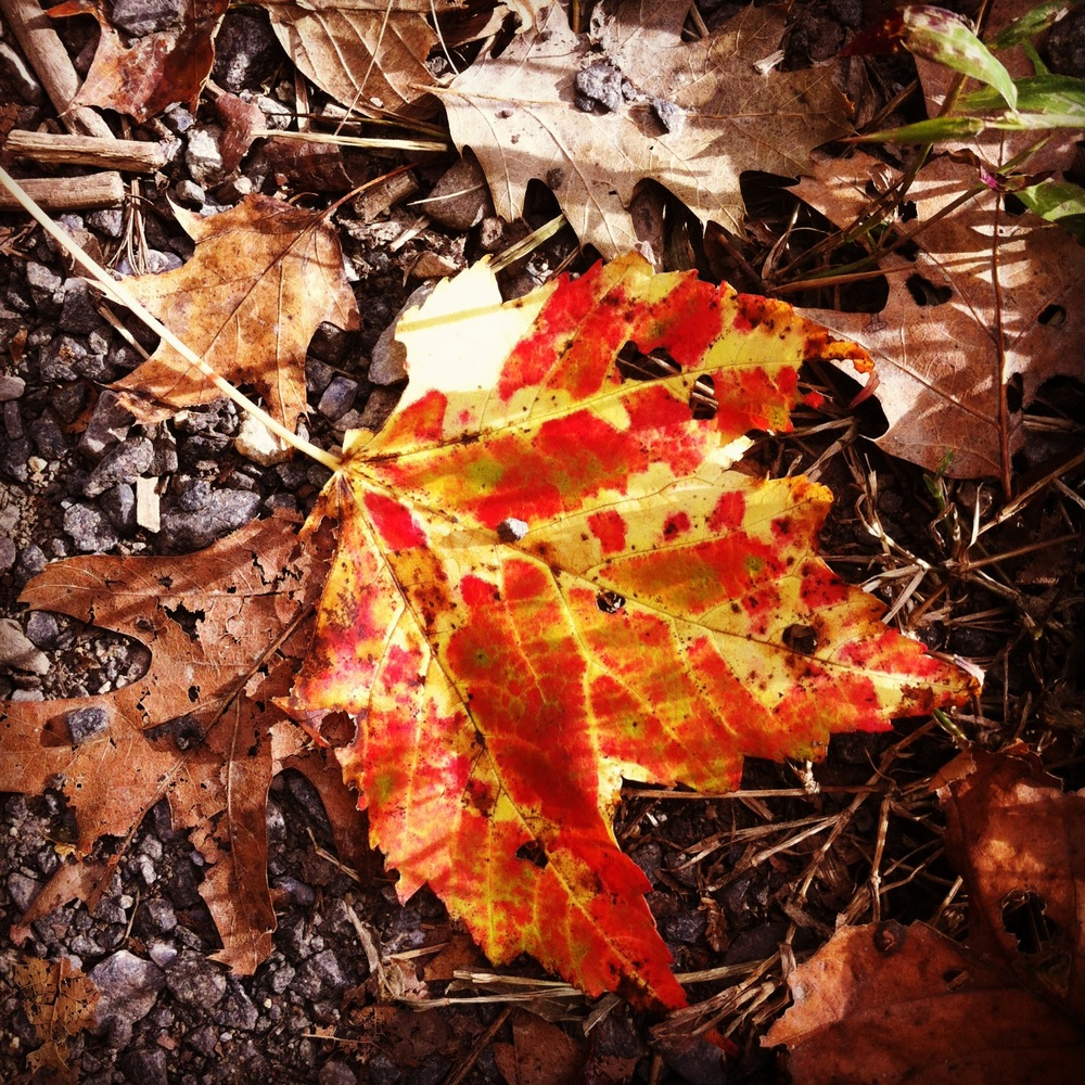 Speckled Leaf, Bear Mountain
