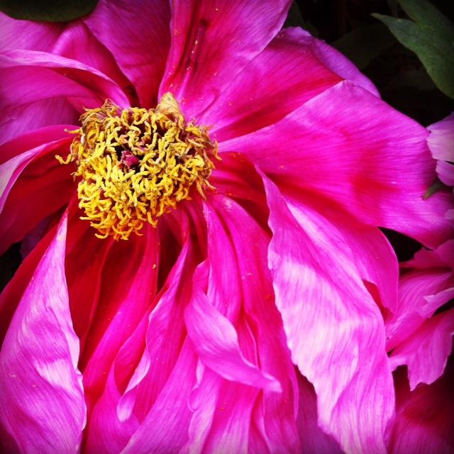Dark pink peony ©2014 Rita Rivera