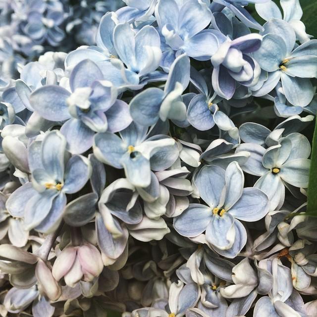 Light blue lilacs