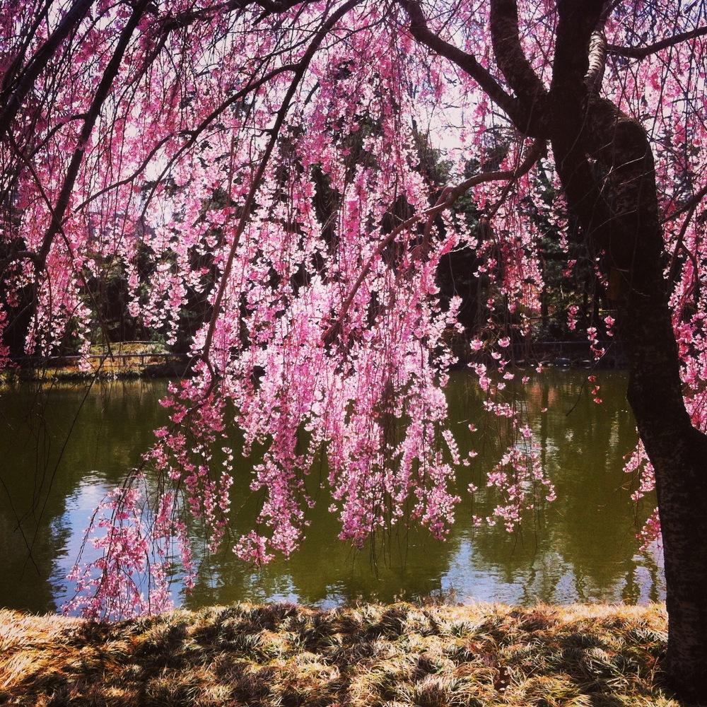 Cherry tree at Brooklyn Botanic Garden