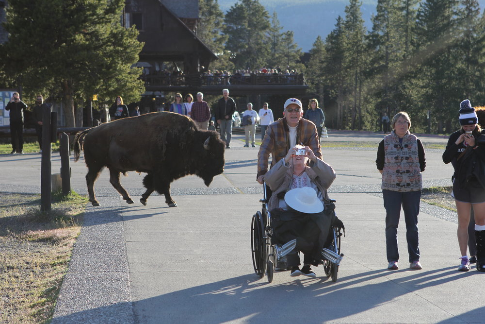 Buffalo and tourists at Yellowstone National Park, Wyoming