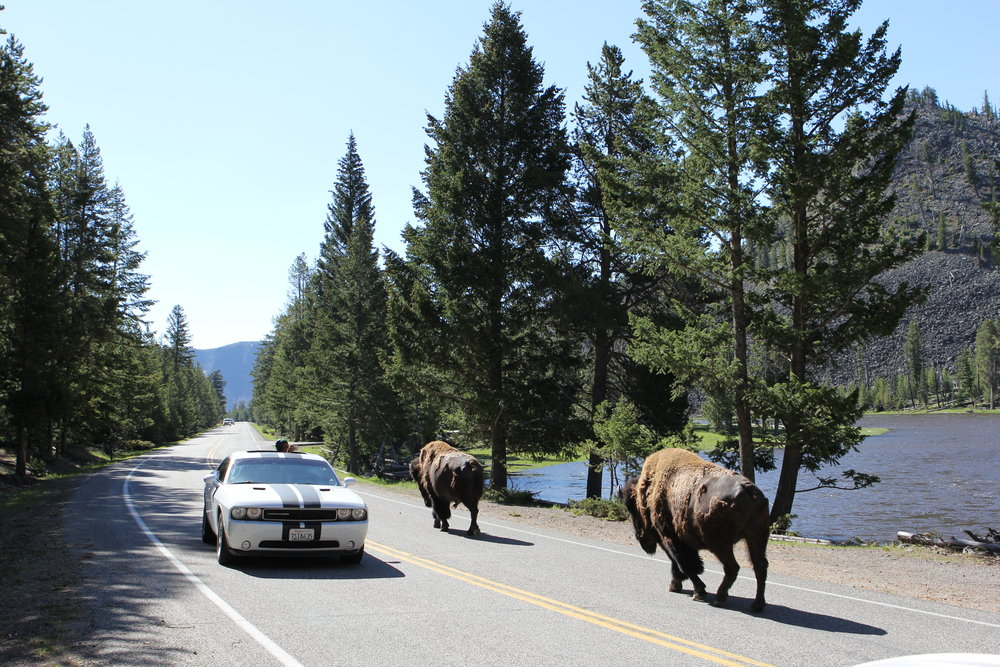 Buffalo on the road at Yellowstone National Park, Wyoming