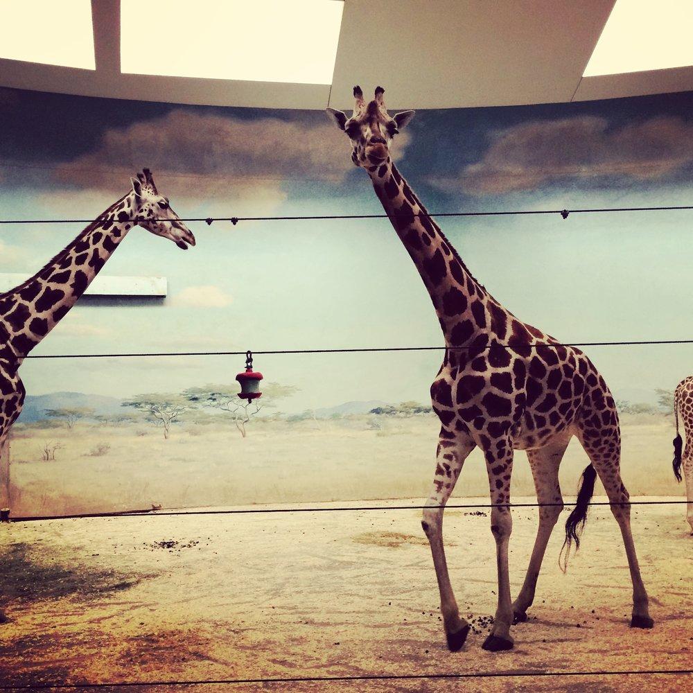 Giraffes at the Bronx Zoo