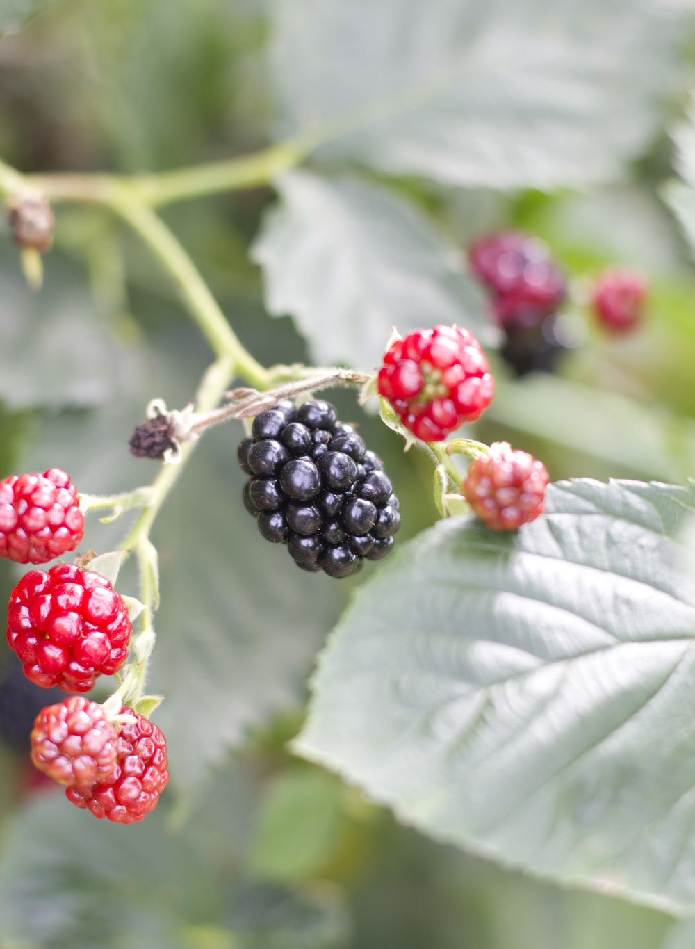 8.29.13—Blackberries_CC.jpg