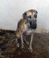 Galgos in Jaen Rescued!