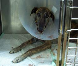 Sofie after emergency surgery