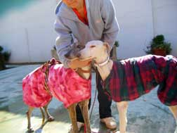Galgos staying warm in new coats